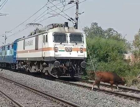 Cow Being Killed by Train | theYNC->